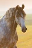 Graues Pferdenportrait Lizenzfreies Stockfoto
