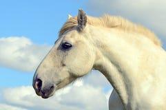 Graues Pferdenportrait Lizenzfreies Stockbild