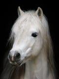Graues Pony Stockfoto