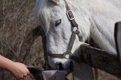 Graues Pony, das einen Snack isst Stockfotografie