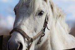 Graues Pony, das nach guten Sachen sucht Stockfotos