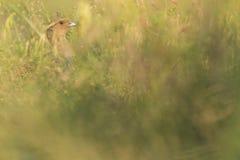 Graues Rebhuhn im Gras stockfoto