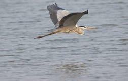 Graues Reiher-Vogel-Flugwesen stockfoto