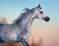 Graues reinrassiges arabisches Pferd auf Hintergrund des Abendhimmels Stockbild