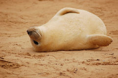 Graues Robbenbaby stockfotografie