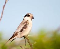 Graues Shrike auf Dornenbaum Lizenzfreie Stockbilder