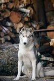 Graues Sitzen des sibirischen Huskys Lizenzfreie Stockfotos