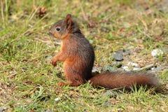 Graues squirrell Lizenzfreies Stockbild