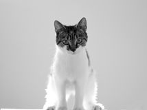 Graues u. weißes Kätzchen Lizenzfreie Stockbilder