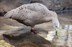Graues und schwarzes Kap-unfruchtbare Gans, die vom Teich trinkt Lizenzfreies Stockfoto
