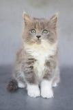 Graues und weißes Kätzchen Stockbilder