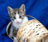 Graues und weißes Kätzchen, das aus einem Korb heraus späht Stockbild