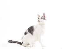 Graues und weißes Kurz-Haar-Hauskatze auf Weiß Stockfotos