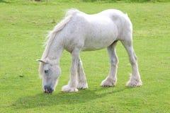Graues windblown Pferd Stockfoto