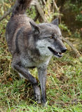Graues Wolfe, das auf Gras geht Stockfotografie