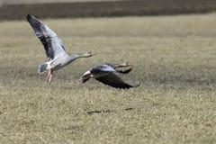 Graugans-Gans, die über bebautes Feld fliegt lizenzfreie stockbilder