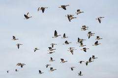 Graugansgänse im Flug stockfotografie