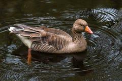 Graugansgans Anser Anserschwimmen im Teich stockfotos