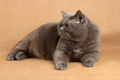 Grauhaarige Katze liegt auf einem leicht-gekrümmten Hintergrund und schaut SID Stockfoto