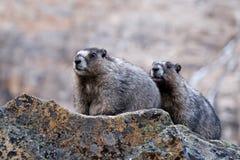 Grauhaarige Murmeltiere schließen oben Lizenzfreie Stockfotos