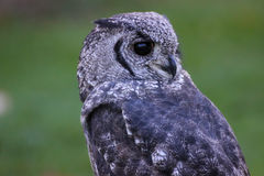 Grauliche Adler-Eule oder Vermiculated Adlereule Stockfotografie