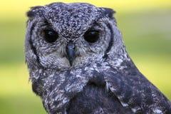 Grauliche Adler-Eule oder Vermiculated Adlereule Lizenzfreie Stockfotos