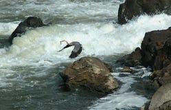 Graureiher bei Great Falls, Maryland Stockbild