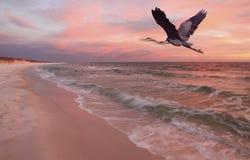 Graureiher, der über Strand bei Sonnenuntergang fliegt Lizenzfreies Stockfoto