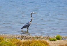 Graureiher, der auf dem See hoch steht Lizenzfreie Stockfotografie