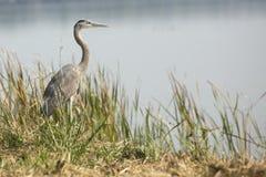 Graureiher, der in einem Sumpf, Apopka, Florida steht Lizenzfreies Stockfoto