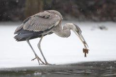 Graureiher, der einen Fisch im Winter reinigt Lizenzfreie Stockbilder