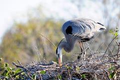 Graureiher, der Nest überprüft Stockfotografie