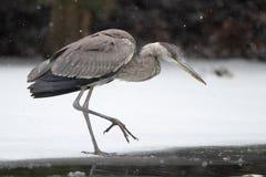 Graureiher, der sein Opfer auf gefrorenem Fluss anpirscht Lizenzfreies Stockfoto