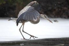 Graureiher, der sein Opfer auf gefrorenem Fluss anpirscht Stockfotos