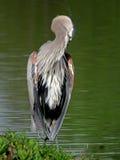 Graureiher, der vor einem grünen See mit dem Kopf verstaut steht Stockbild