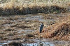 Graureiher in einem Sumpf stockfotos