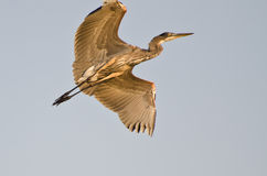 Graureiher-Fliegen mit den Flügeln ausgestreckt Stockbild