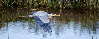 Graureiher-Fliegen, Savannah National Wildlife Refuge stockbilder
