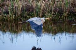 Graureiher-Fliegen, Savannah National Wildlife Refuge lizenzfreies stockfoto