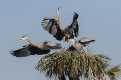 Graureiher in Florida-Sumpf lizenzfreies stockbild