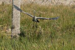 Graureiher in Florida-Sumpf lizenzfreie stockbilder