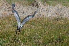 Graureiher in Florida-Sumpf stockbild