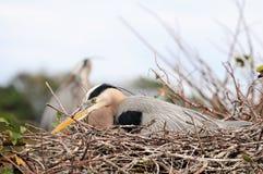 Graureiher im Nest Stockbilder