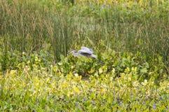 Graureiher mit dem Aal gezupft vom Teich Stockfoto