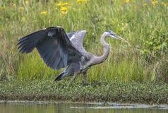 Graureiher mit den Flügeln verbreitet auf Georgia-Teich lizenzfreie stockfotos