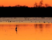 Graureiher mit Enten im Hintergrund, der auf dem überschwemmten Reisgebiet benutzt als Jagdrevier während der Entenjahreszeit am  Stockfotografie
