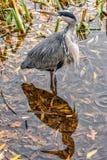 Graureiher und sein Schatten auf Wasseroberfläche Lizenzfreies Stockbild