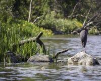 Graureiher in verlorener Lagune lizenzfreie stockfotografie