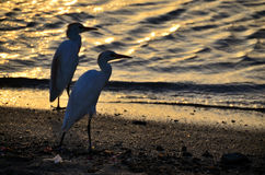 Graureiher zwei bei Sonnenuntergang am Strand Lizenzfreies Stockfoto