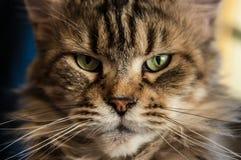 Grausame Katze von kaltem Sibirien Lizenzfreies Stockfoto